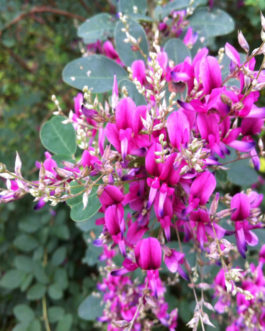 Little Volcano Bush Clover