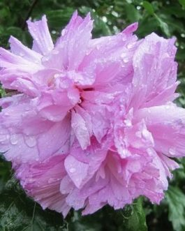 Double Pink Althea