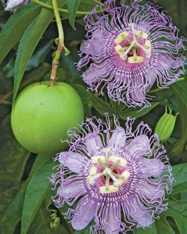 Purple Passion Flower Vine